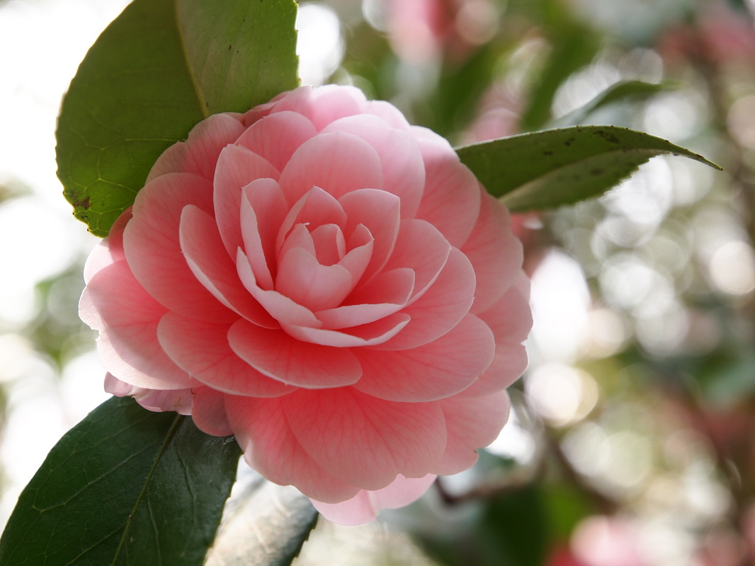 Camellia Society Of Modesto Blog